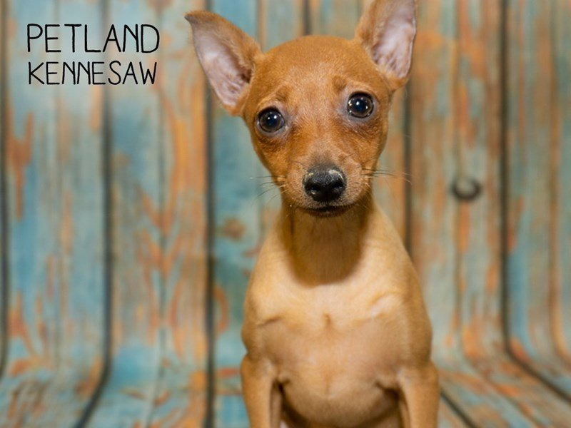Miniature Pinscher-Female-RD-2362042-Petland Kennesaw