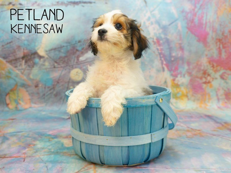 Cavachon-Male-Brown White / Tan-2368646-Petland Kennesaw
