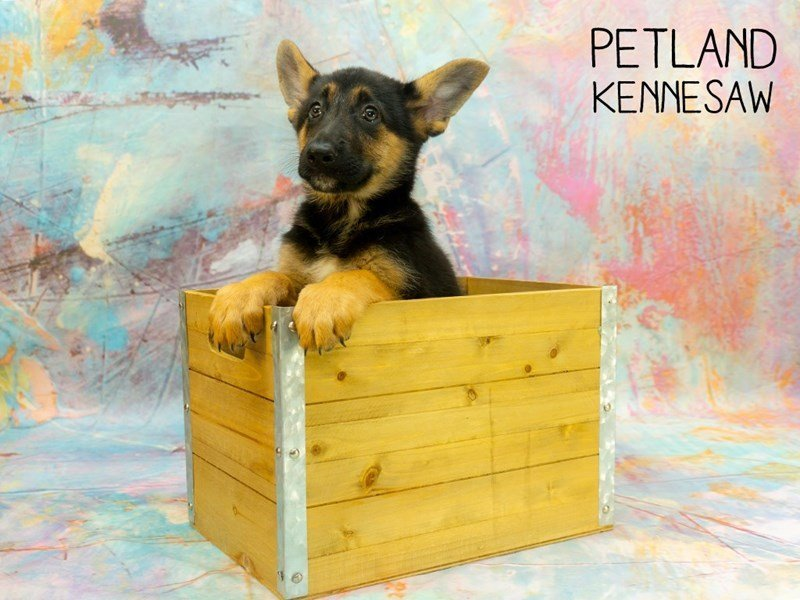 German Shepherd-Female-Black and Tan-2367215-Petland Kennesaw