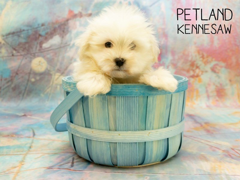 Maltese-Male-white-2367238-Petland Kennesaw