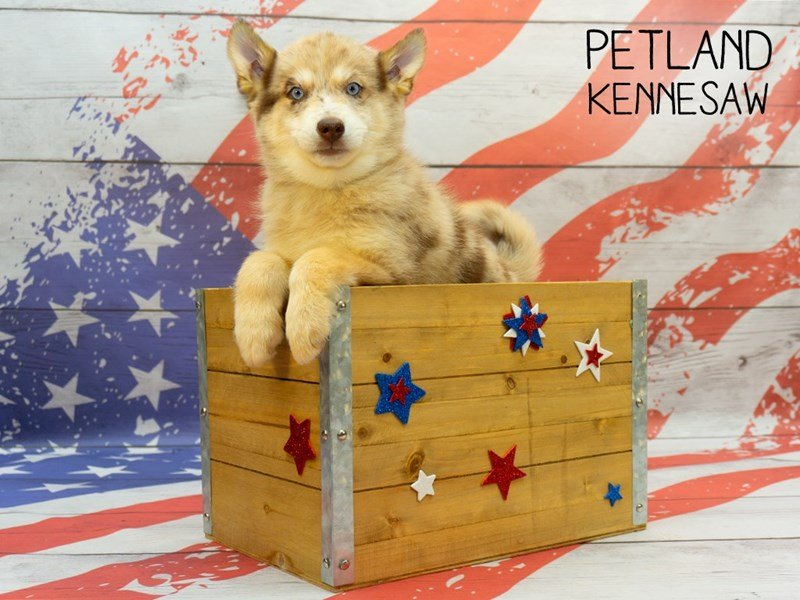 Pomsky-Male-Chocolate Merle-2375569-Petland Kennesaw