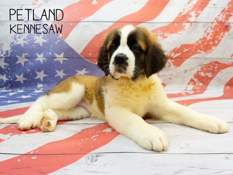 Saint Bernard-Female-Sable / White-2375563-Petland Kennesaw