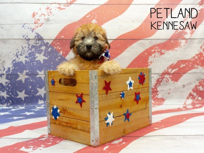 Soft Coated Wheaten Terrier-Female-Wheaten-2375566-Petland Kennesaw