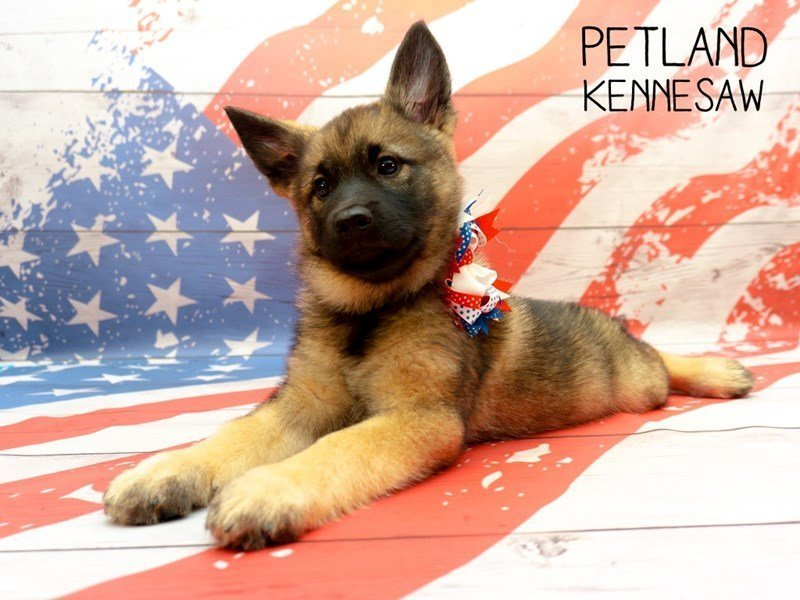 Norwegian Elkhound-Female-Black / Silver-2375565-Petland Kennesaw