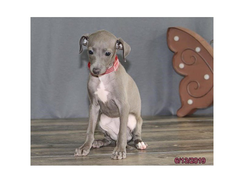 Italian Greyhound-Female-Blue-2379919-Petland Kennesaw