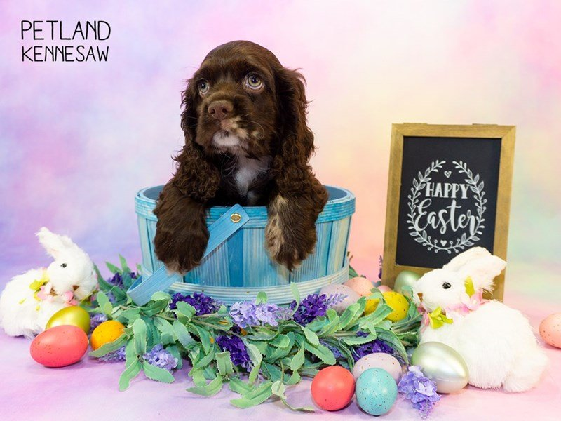 Cocker Spaniel-Male-CHOCOLATE WHITE-2324820-Petland Kennesaw