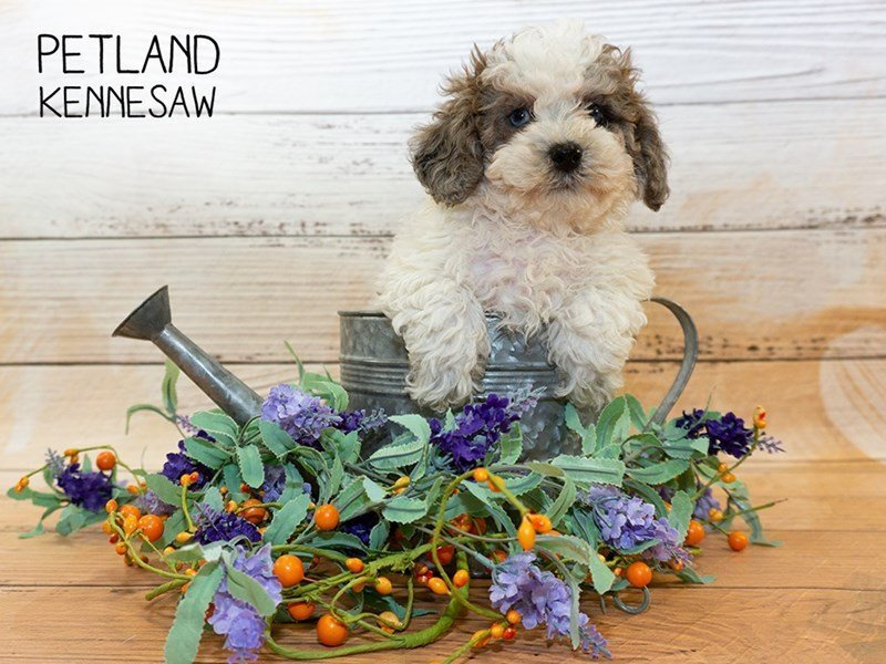 Poodle-Male-CHOC WHITE MERLE-2335189-Petland Kennesaw