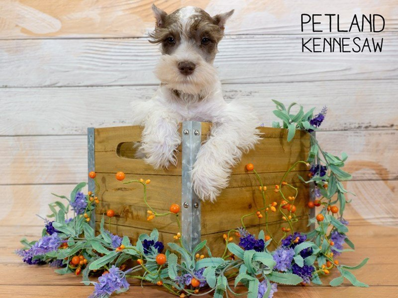 Miniature Schnauzer-Male-LIVER WITE-2340075-Petland Kennesaw