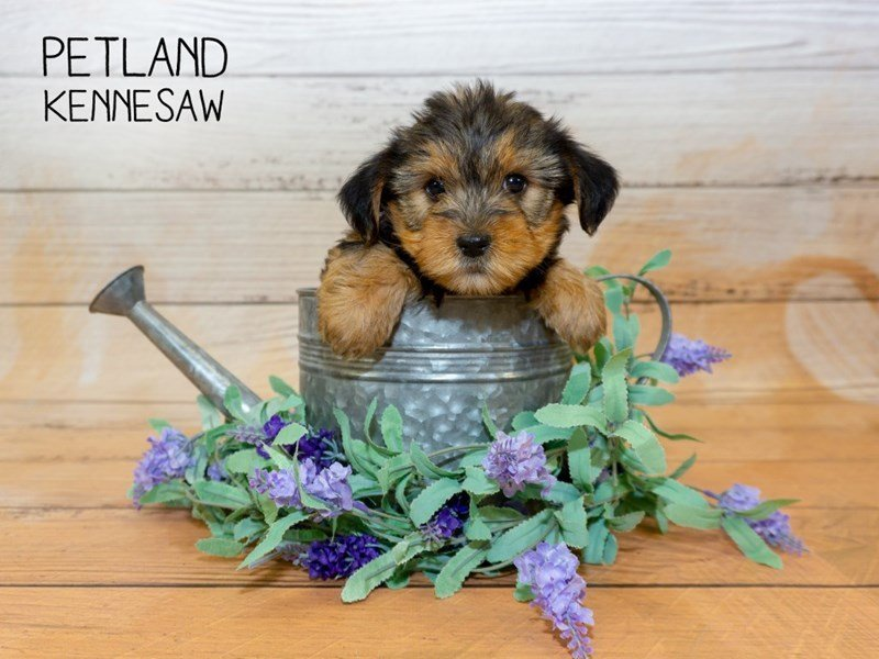 Yorkshire Terrier-Female-BLACK TAN-2339948-Petland Kennesaw