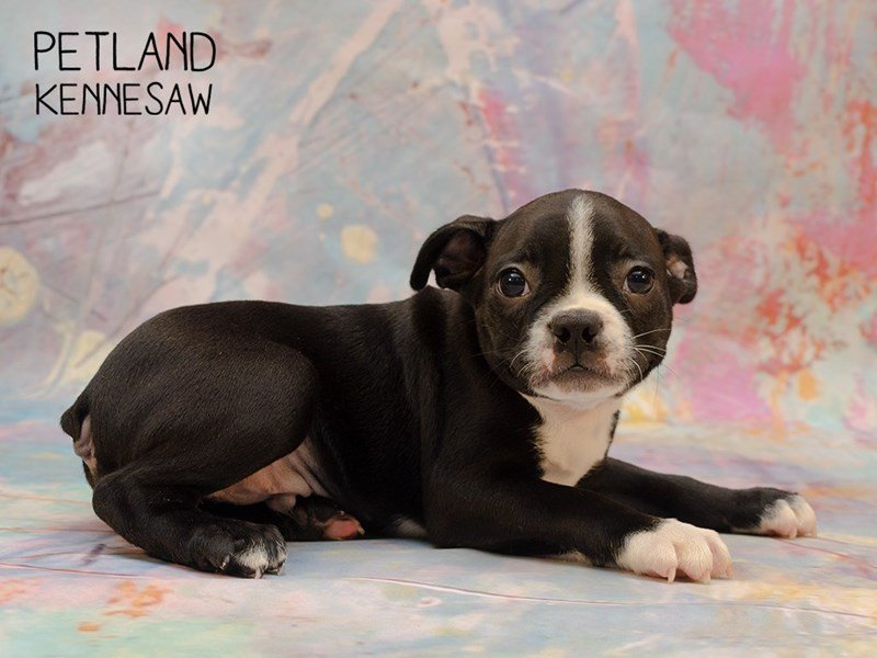 Boston Terrier-Male-Black / White-2346575-Petland Kennesaw