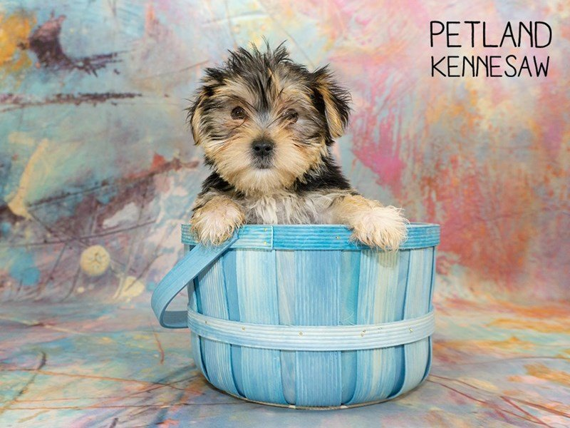 Morkie-Female-black tan-2351110-Petland Kennesaw