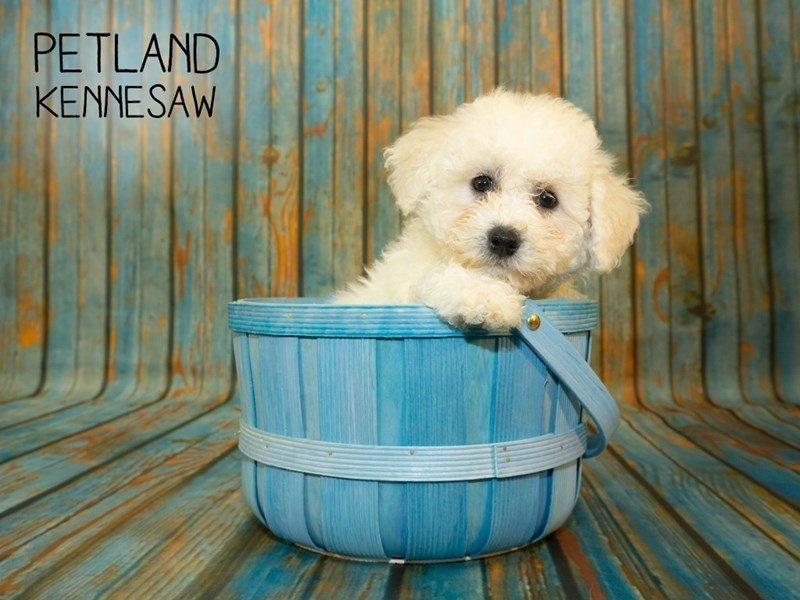 Bichon Frise-Female-White-2357009-Petland Kennesaw