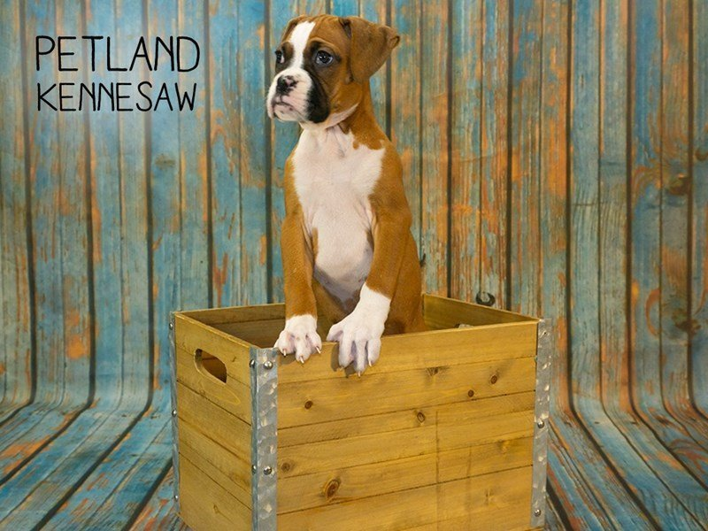 Boxer-Female-Fawn / White-2356937-Petland Kennesaw