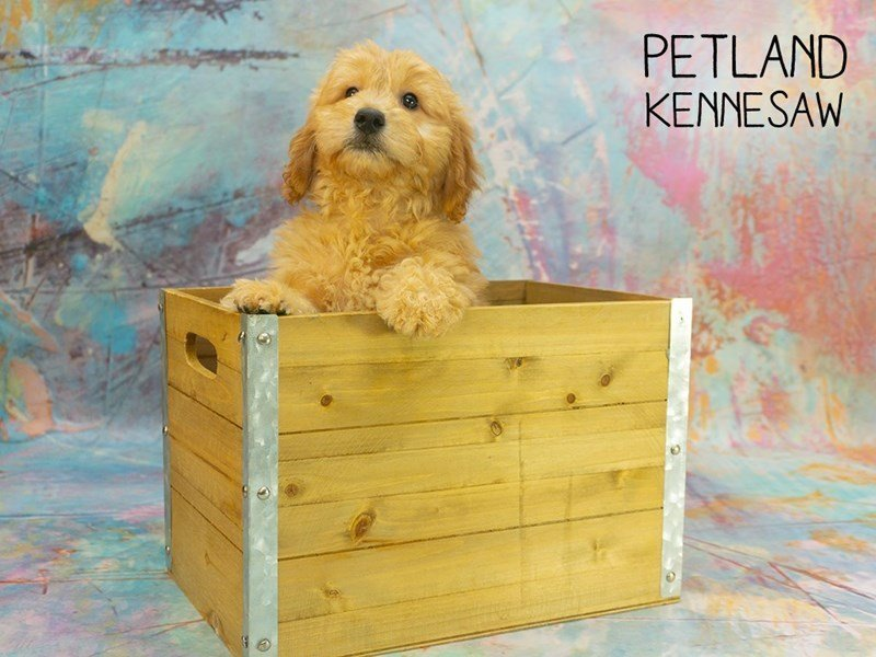 Miniature Goldendoodle-Female-Red-2368593-Petland Kennesaw