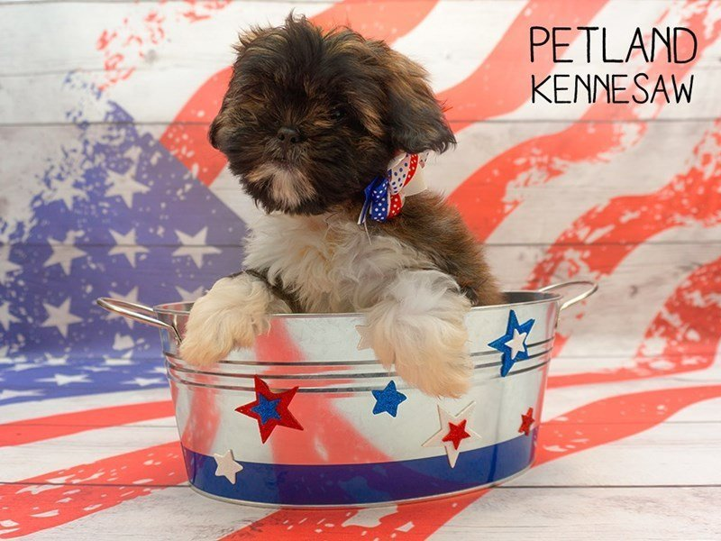 Lhasa Apso-Female-Red Sable-2375564-Petland Kennesaw