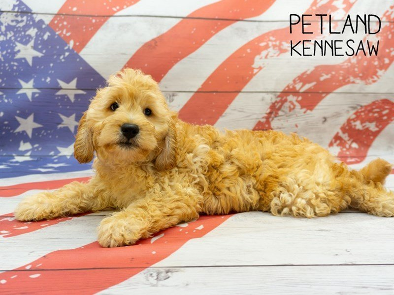 Miniature Goldendoodle-Female-Red-2375574-Petland Kennesaw