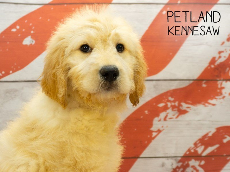 Goldendoodle 2nd Gen-Male--2375573-Petland Kennesaw
