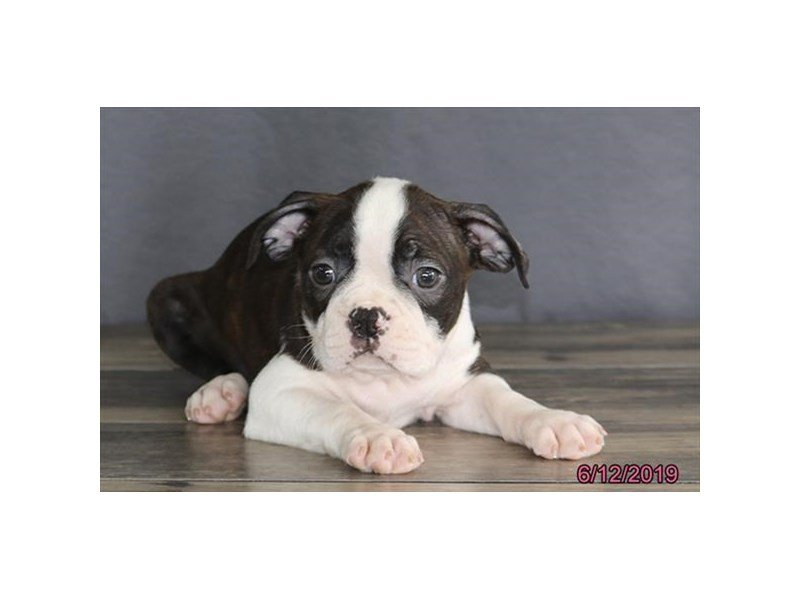 Boston Terrier-Male-Brindle / White-2379786-Petland Kennesaw
