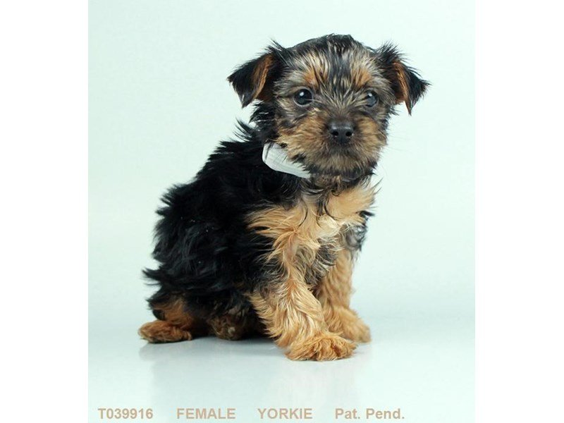 Yorkshire Terrier-Female-BLK & TN-2380357-Petland Kennesaw
