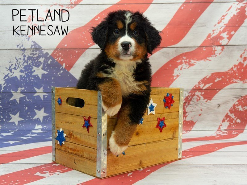 Bernese Mountain Dog-Male-Tri Color-2378543-Petland Kennesaw