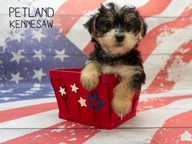 Morkie-Female-BLK TAN-2378506-Petland Kennesaw