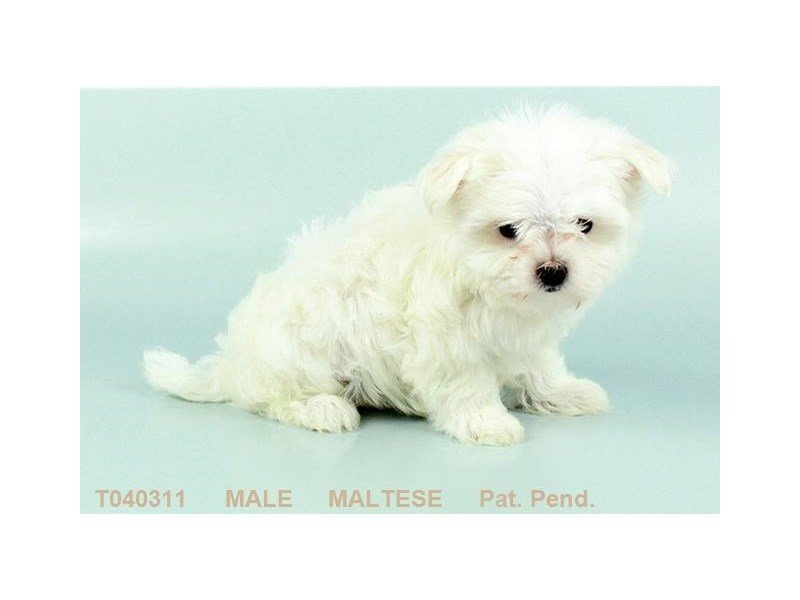 Maltese-Male-WH:BLK PTS-2384683-Petland Kennesaw