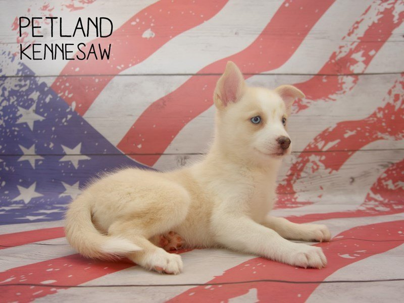 Pomsky-Female-SABLE WHITE-2384384-Petland Kennesaw