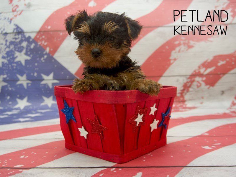 Yorkshire Terrier-Male-BLK & TN-2384680-Petland Kennesaw