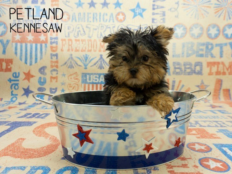 Yorkshire Terrier-Male-BLK & TN-2391644-Petland Kennesaw