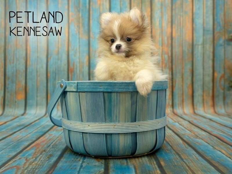Pomeranian-Male-Cream / White-2398145-Petland Kennesaw