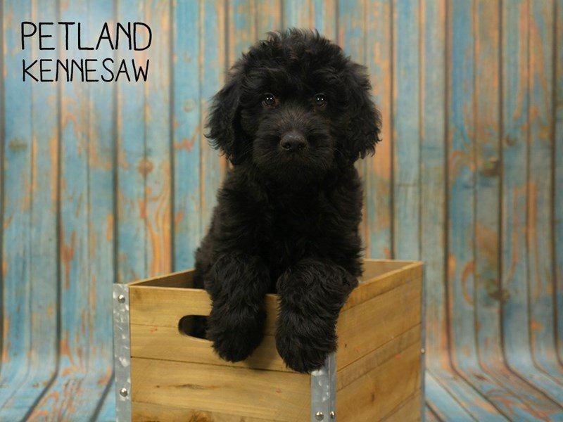 Goldendoodle-Male-Black-2396525-Petland Kennesaw