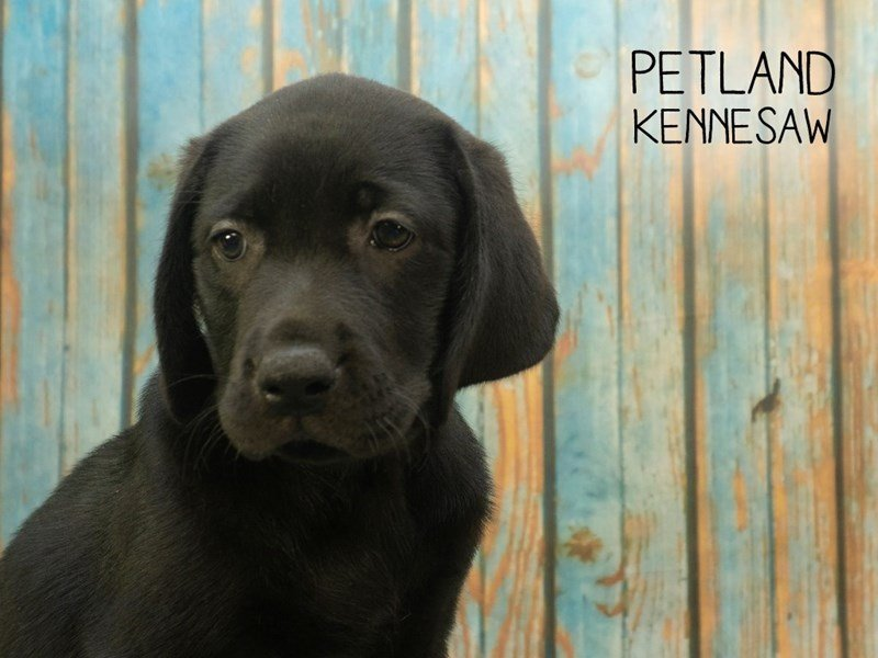 Labrador Retriever-Female-Black-2396546-Petland Kennesaw