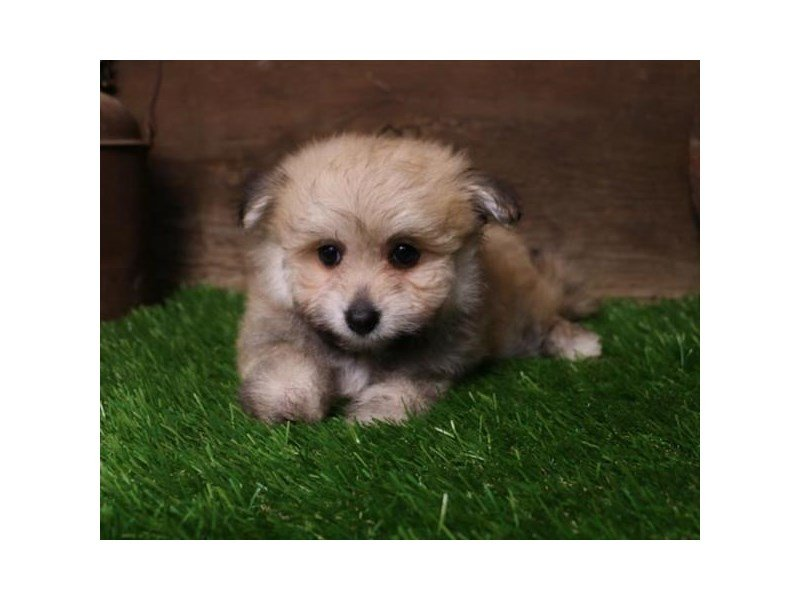 Pomapoo-DOG-Female-Sable-2404280-Petland Kennesaw