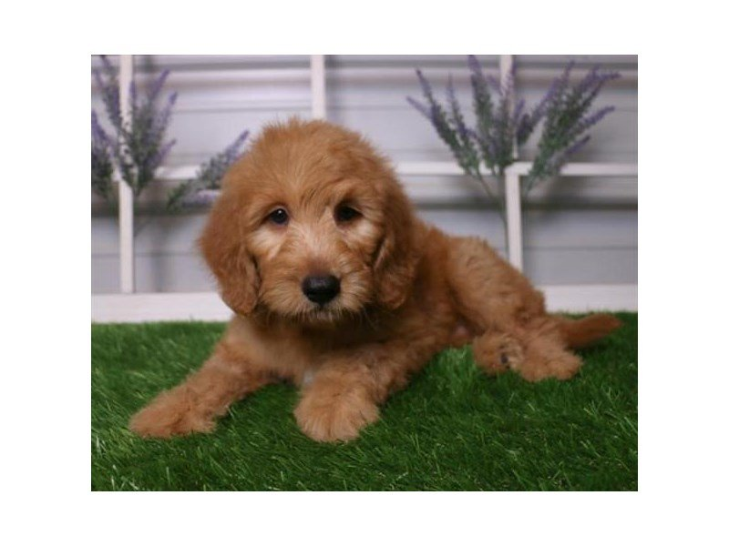 Miniature Goldendoodle-Male-Red-2404283-Petland Kennesaw