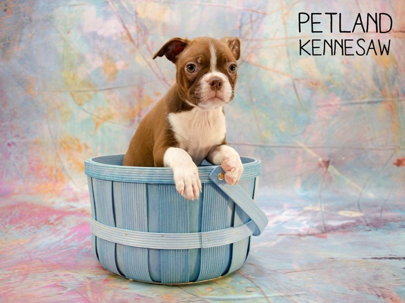 Boston Terrier-Female-Red Wht-2402728-Petland Kennesaw