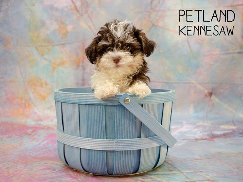 Havanese-Male-BROWN WHITE-2402955-Petland Kennesaw