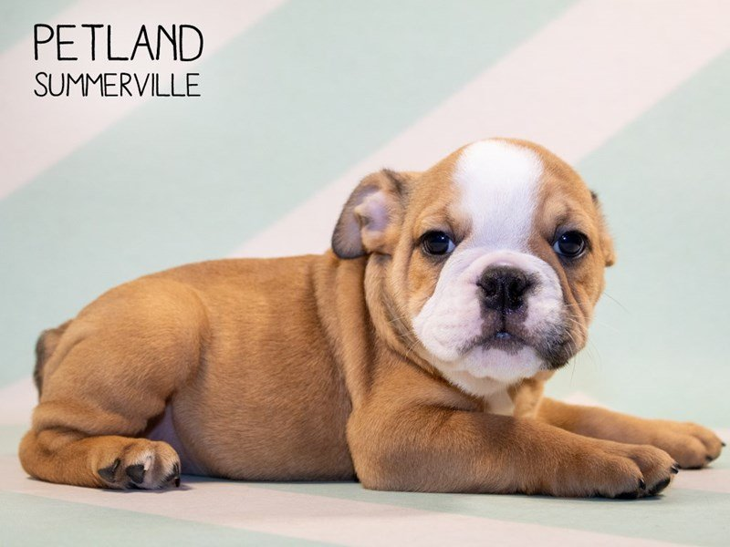 English Bulldog-Female-Brown White-2351071-Petland Kennesaw