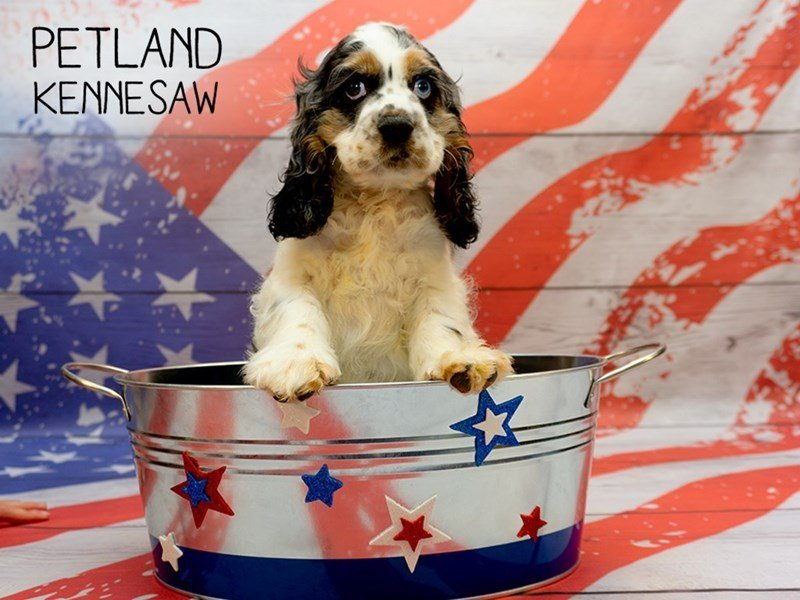 Cocker Spaniel-Male-Blue Roan-2375567-Petland Kennesaw