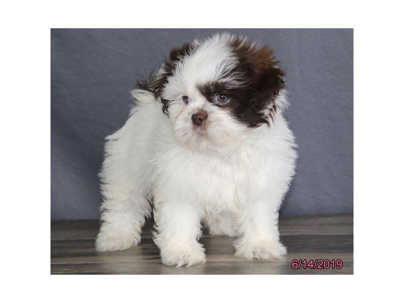 Shih Tzu-Female-Brown / White-2379789-Petland Kennesaw