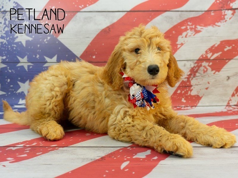 Goldendoodle 2nd Gen-Female-Golden-2379791-Petland Kennesaw