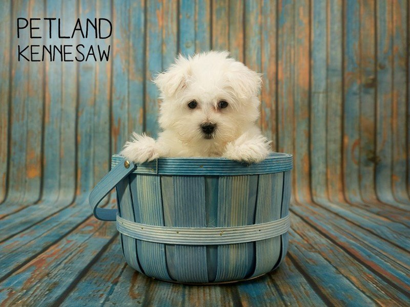 Maltese-Male-White-2398171-Petland Kennesaw