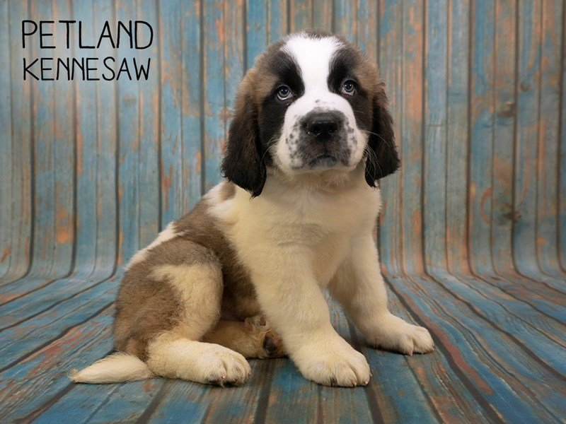 Saint Bernard-Male-Sable White-2396674-Petland Kennesaw