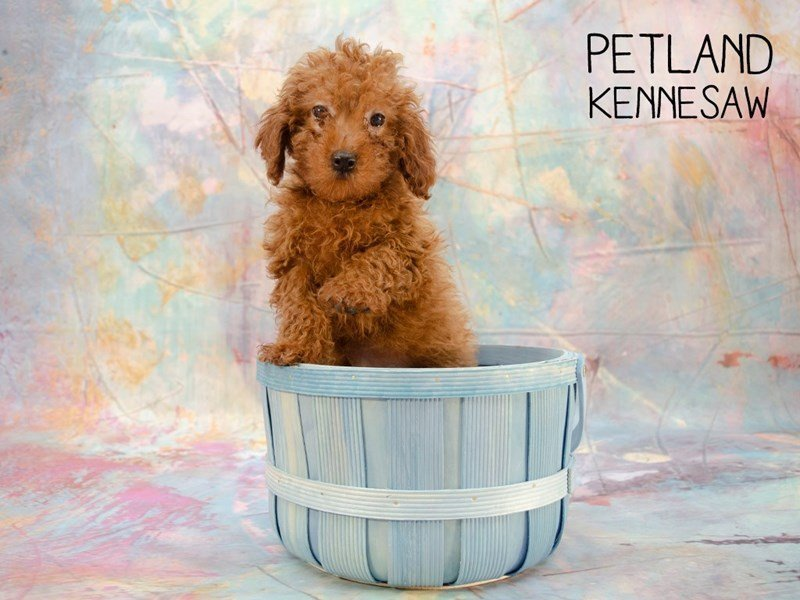 Miniature Poodle-Male-RED-2396445-Petland Kennesaw