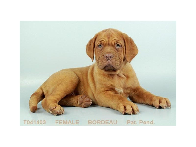 Dogue De Bordeaux-Female-RD-2403078-Petland Kennesaw