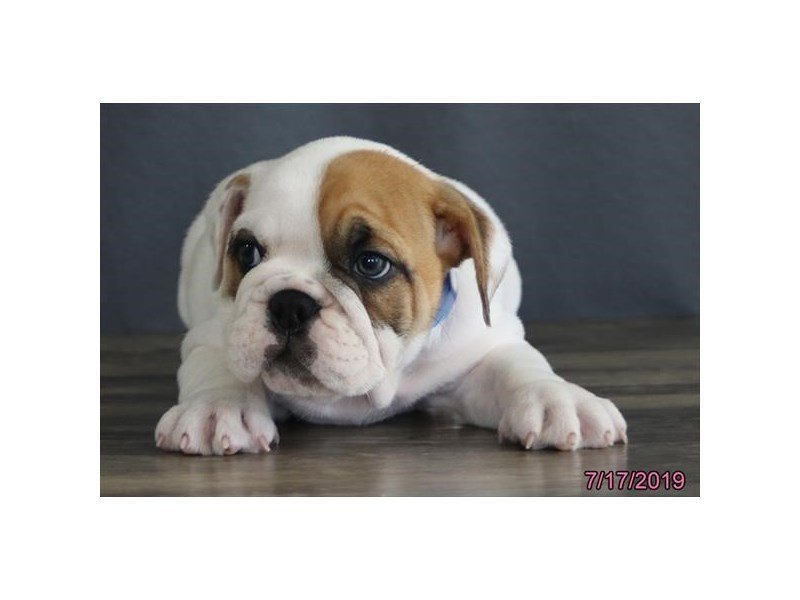 English Bulldog-Female-Fawn-2410914-Petland Kennesaw