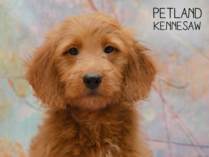 Miniature Goldendoodle-Male-Red-2404278-Petland Kennesaw