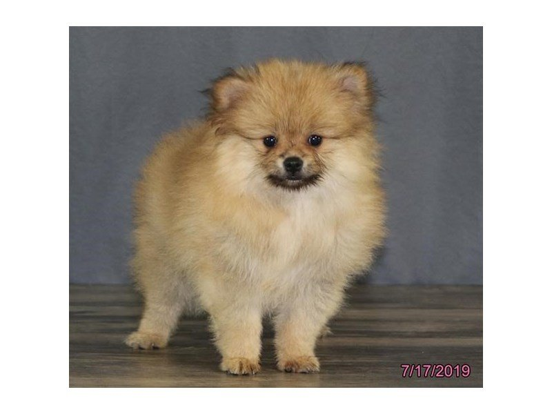 Pomeranian-Female-Brown-2415373-Petland Kennesaw