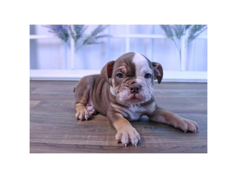 English Bulldog-Female-Chocolate White Tan-2415430-Petland Kennesaw