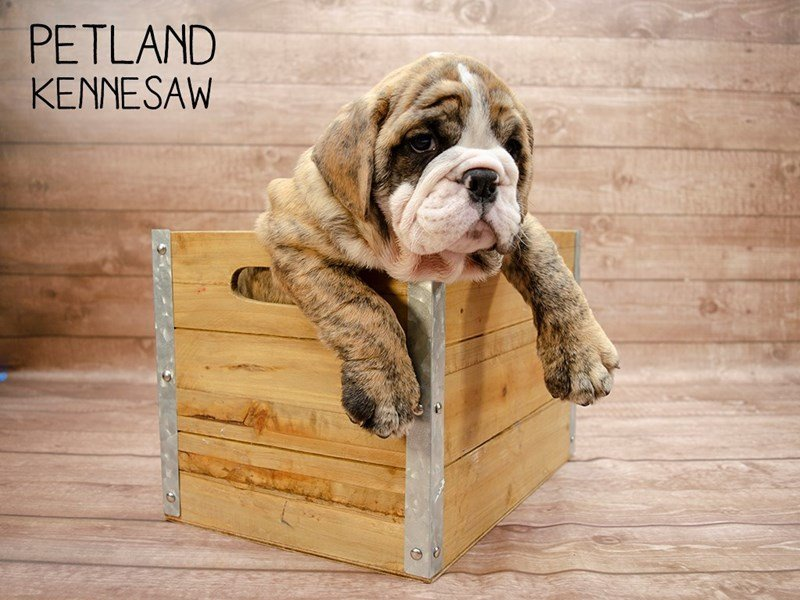 English Bulldog-Male-Brindle-2414872-Petland Kennesaw