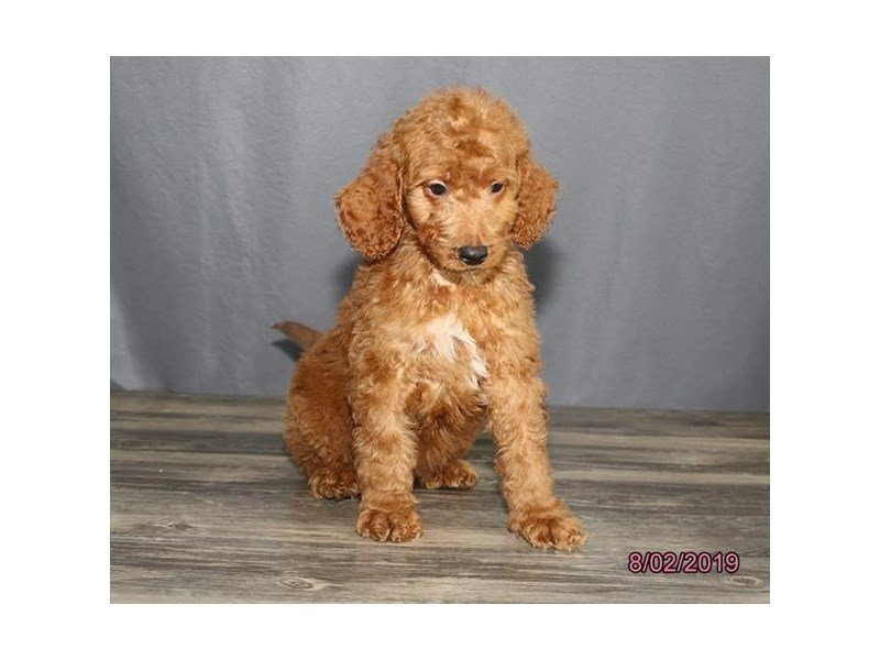 Goldendoodle-Male-Red-2421739-Petland Kennesaw